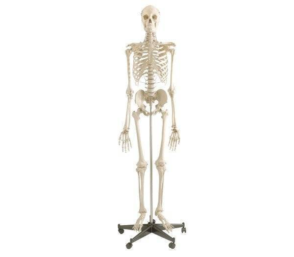 Homo Skelett Standard