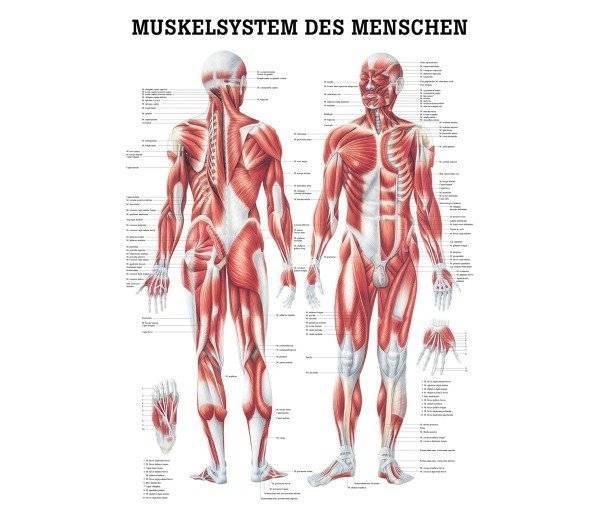Lehrtafel Muskelsystem des Menschen