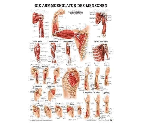Lehrtafel Armmuskulatur des Menschen