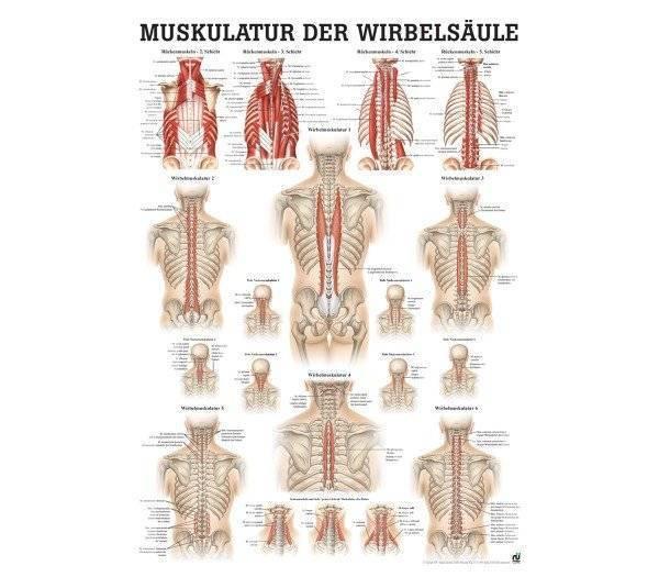 Lehrtafel Muskulatur der Wirbelsäule